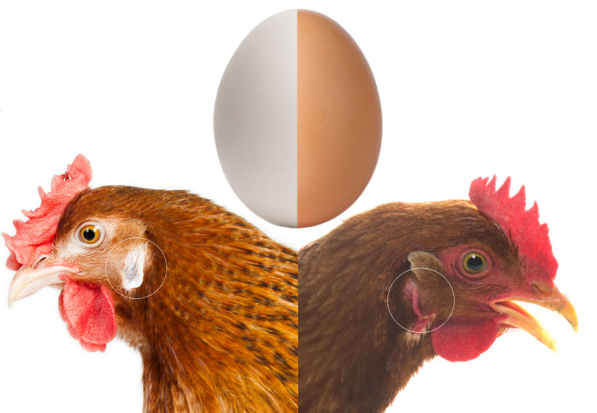 Weiße Hühner