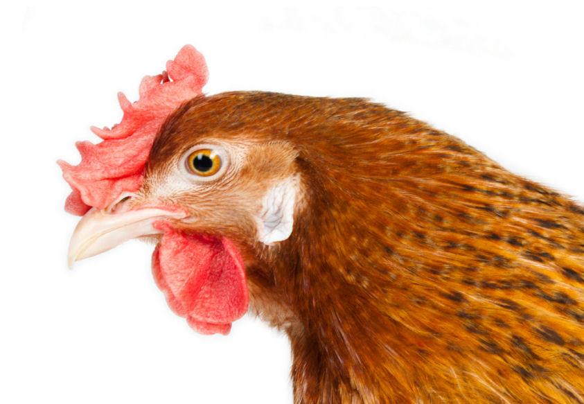 Ohrscheibe Huhn