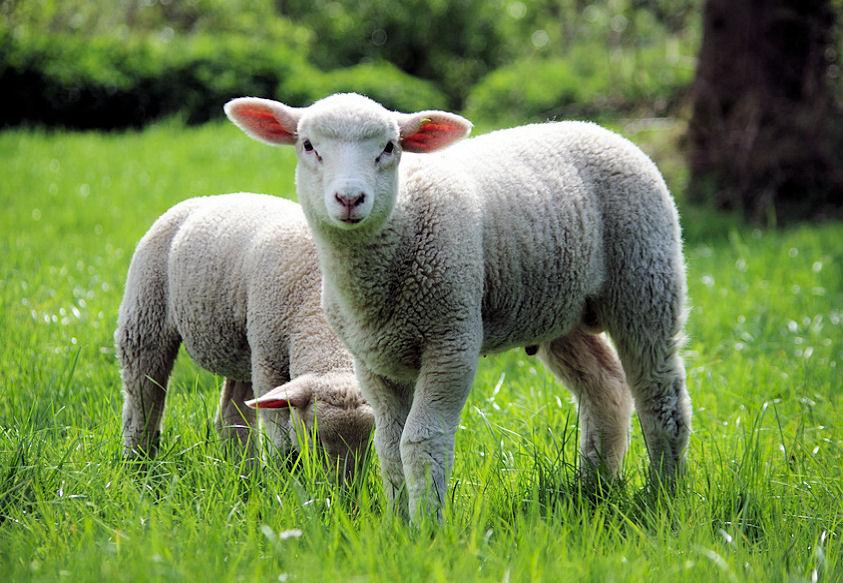 Schaf Französisch