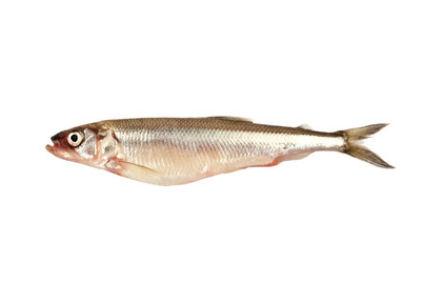 stinte s252223wasserfische definition warenkunde