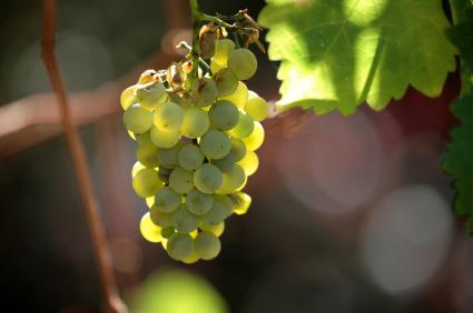 Was Ist Sauvignon Blanc Was Ist Das Rebsorten Definition Warenkunde Lebensmittelkunde